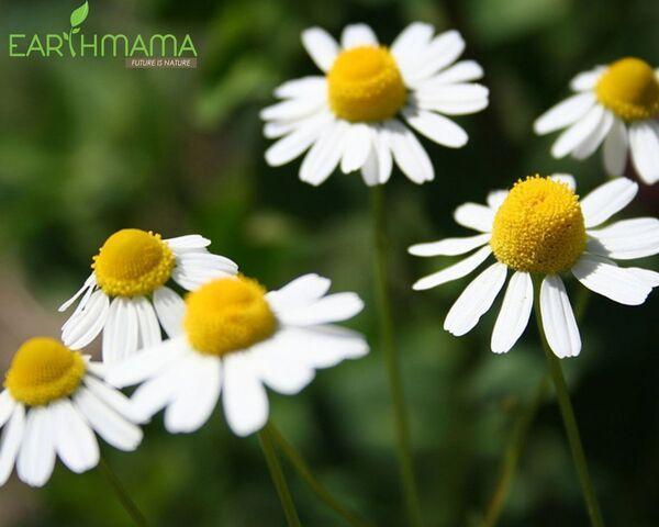 Hoa cúc La Mã từ lâu đã được biết đến với công dụng chữa bệnh tuyệt vời