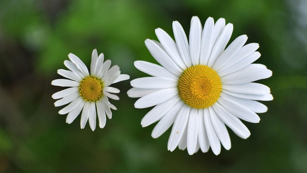 Những bông hoa cúc La Mã Chamomile là thảo mộc quý cho làn da
